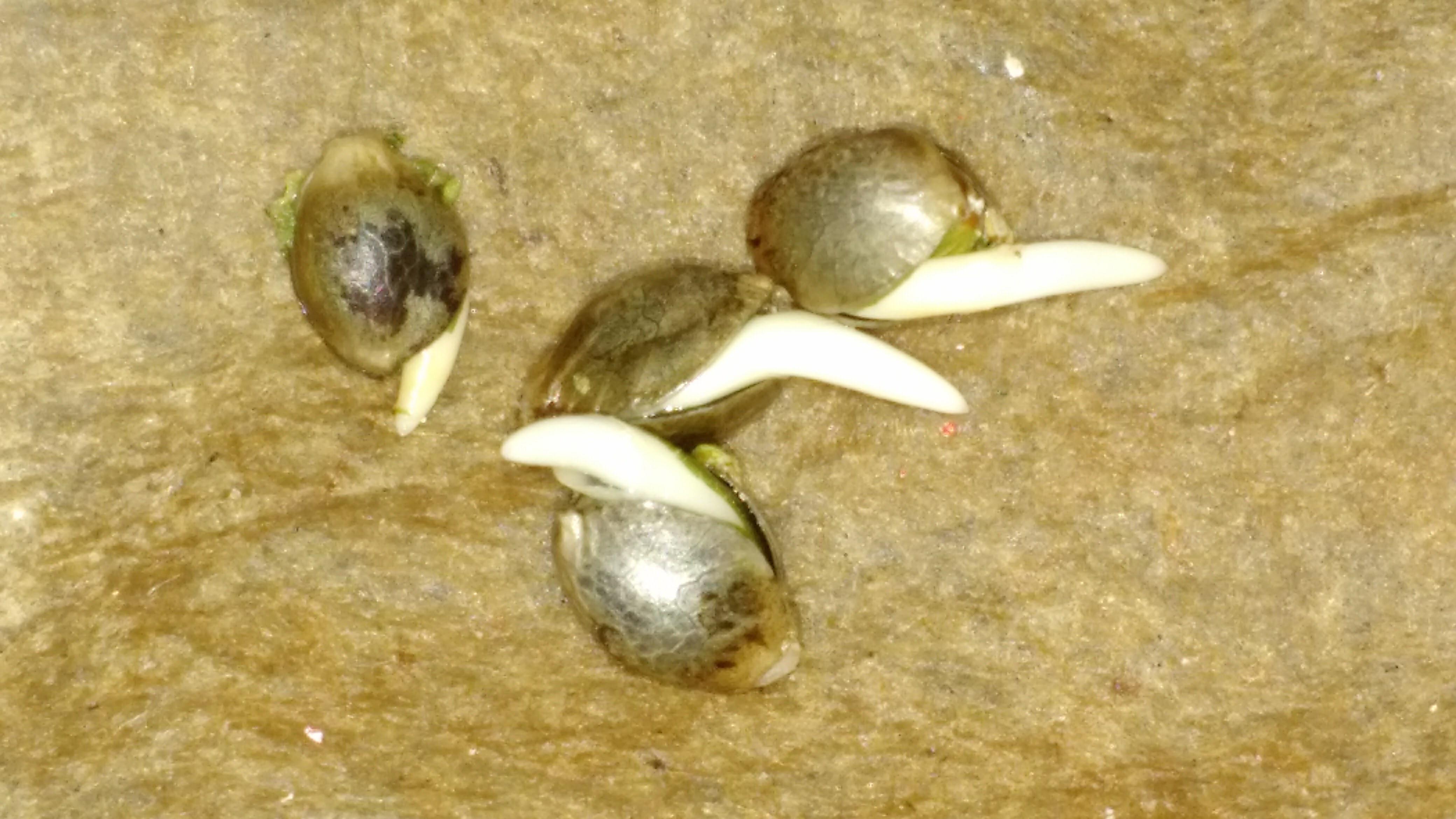 Germinating Cannabis Seeds - Dab Canada Compassion Society